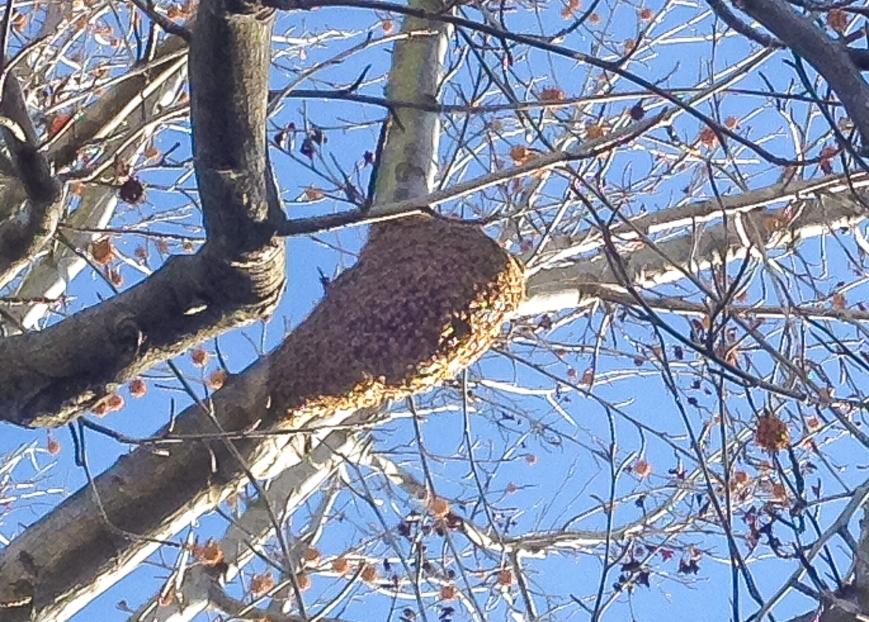 hawk and bees-2014-01-14 10.29.21
