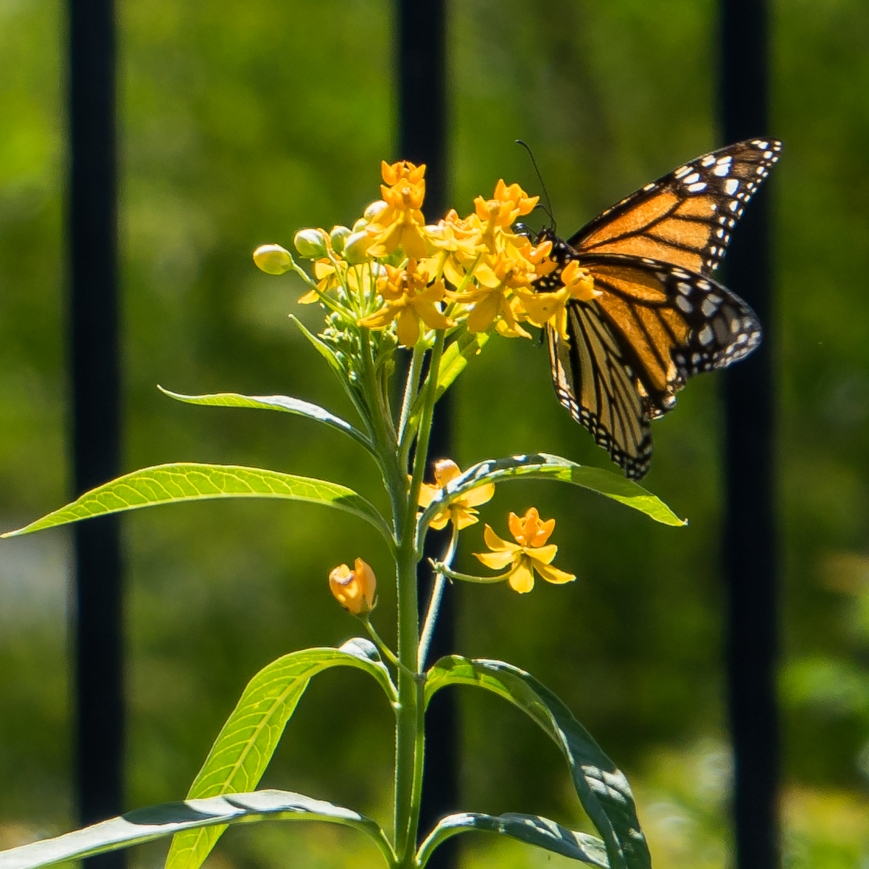 monarch (2 of 11)