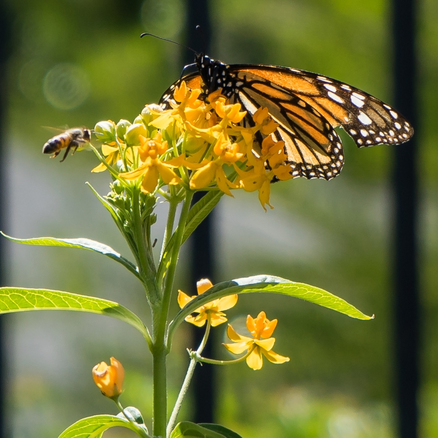 monarch (6 of 11)